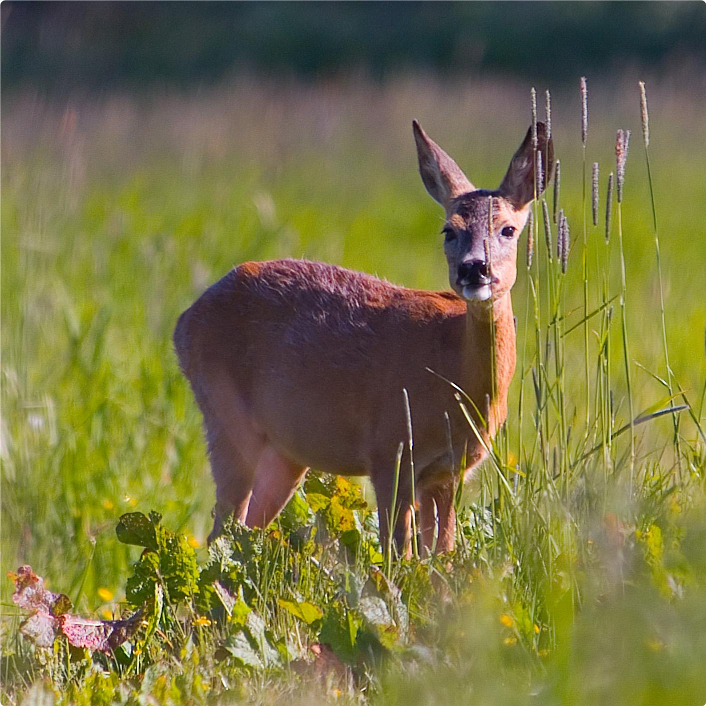 Roe deer and hare