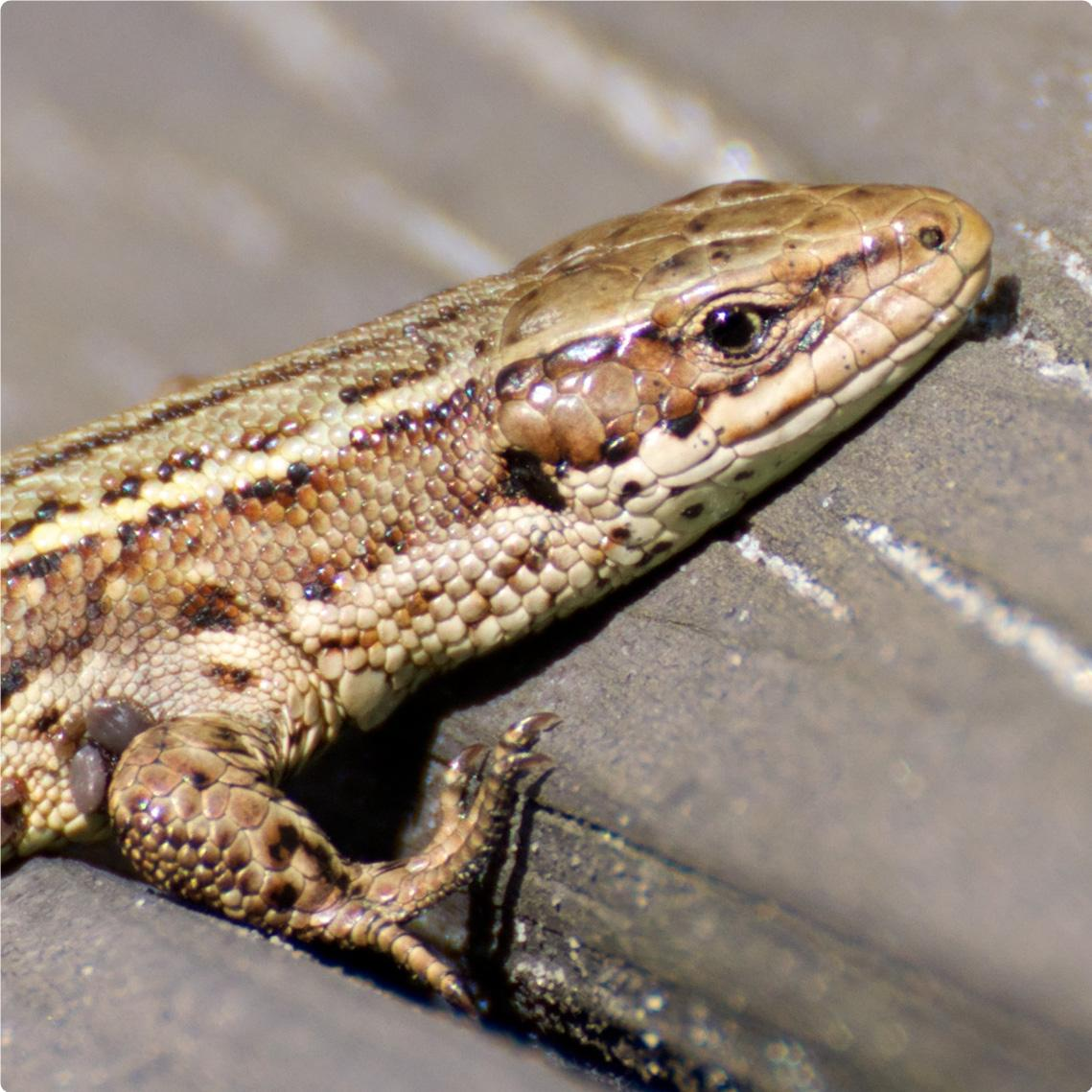 The sand lizard and the common lizard
